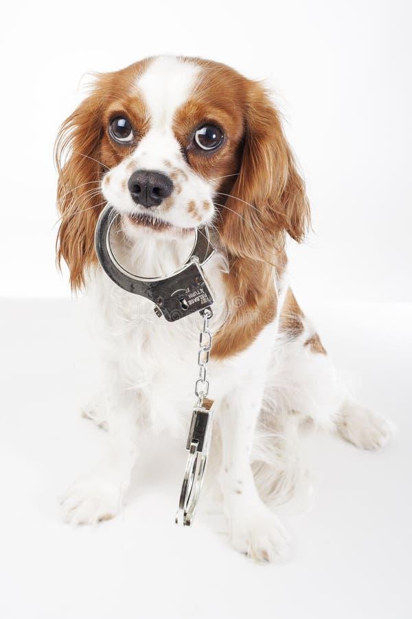 Hund mit den Handschellen gegen Tiergrausamkeit Nette Spaniel-Hundefotos des Kavaliers ki8ng Charles lizenzfreies stockfoto