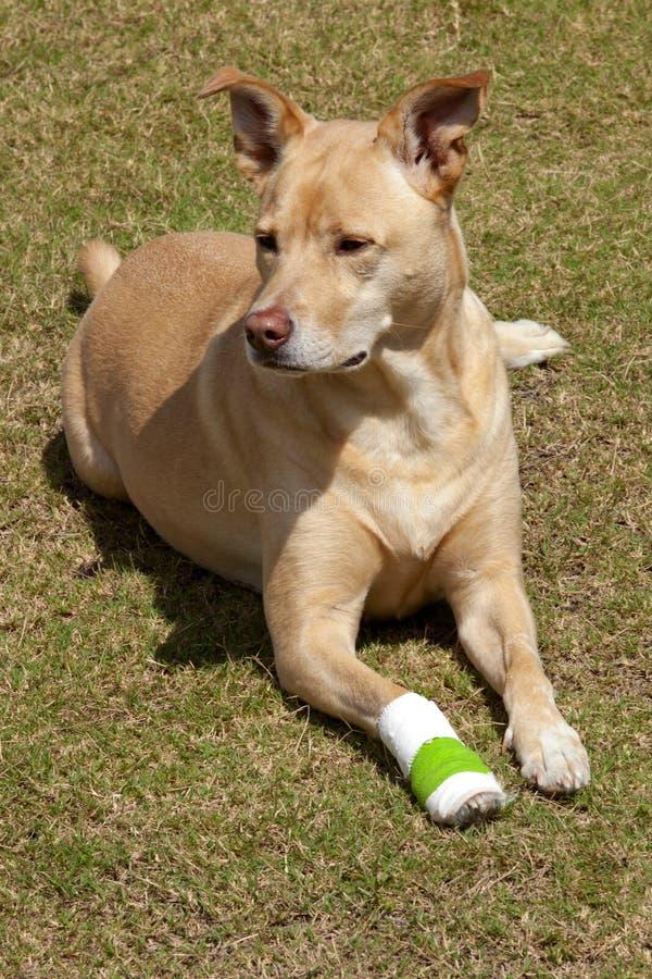Hund mit der verletzten Tatze lizenzfreies stockfoto
