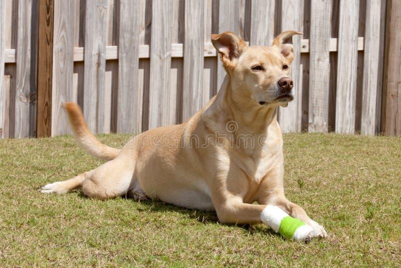 Hund mit der verletzten Tatze stockfotografie