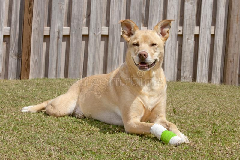 Hund mit der verletzten Tatze lizenzfreie stockbilder