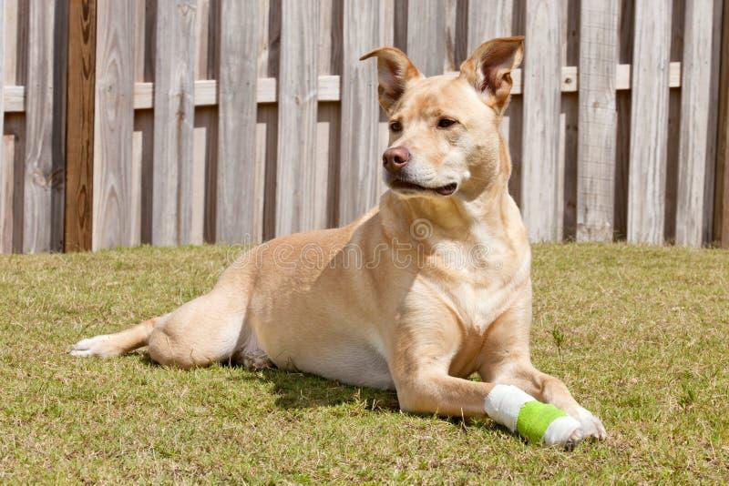 Hund mit der verletzten Tatze stockbild