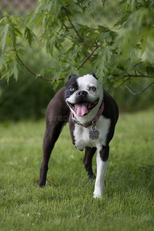 Hund mit drei Beinen lizenzfreies stockbild