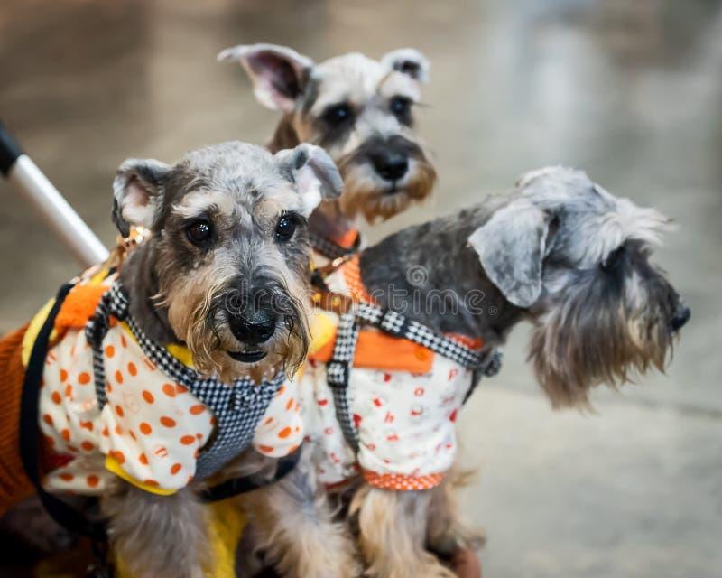 Hund mit drei Schnauzer in der Laufkatze lizenzfreies stockbild