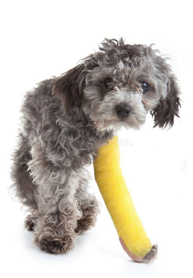 Hund mit einem gebrochenen Fahrwerkbein stockbilder