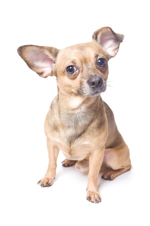 Hund mit einem verbogenen Ohr stockfotos