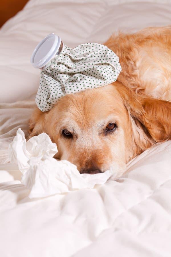 Hund mit Grippe stockbilder
