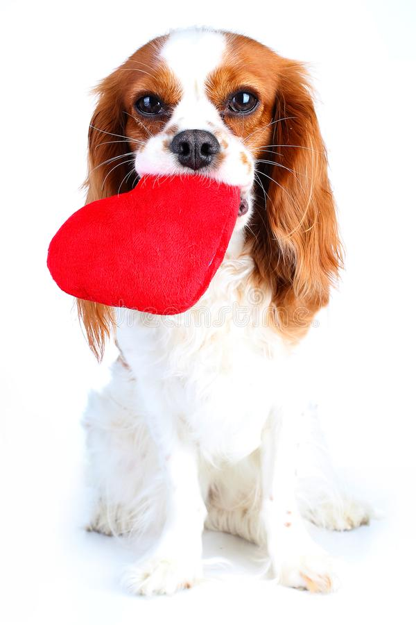 Hund mit großem Herzen Reizendes Spaniel-Haustierfoto Königs Charles für jedes Konzept Hundewelpe mit weichem Herzspielzeug ausge stockbild