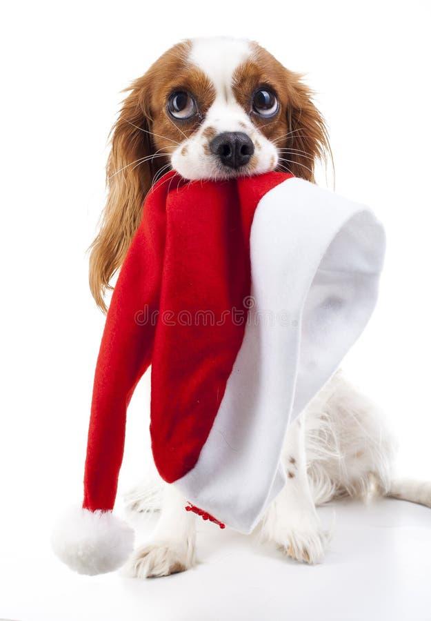 Hund mit Sankt-Hut Weihnachtshund im Studio Weißer Spanielhund Hintergrundkönigs Charles Rote Hintergrundnahaufnahme Sankt-Hut mi lizenzfreies stockfoto