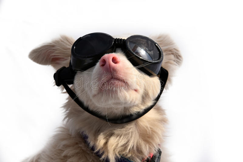 Hund mit Schutzbrillen lizenzfreie stockfotos