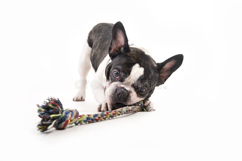 Hund mit seinem Spielzeug stockfoto