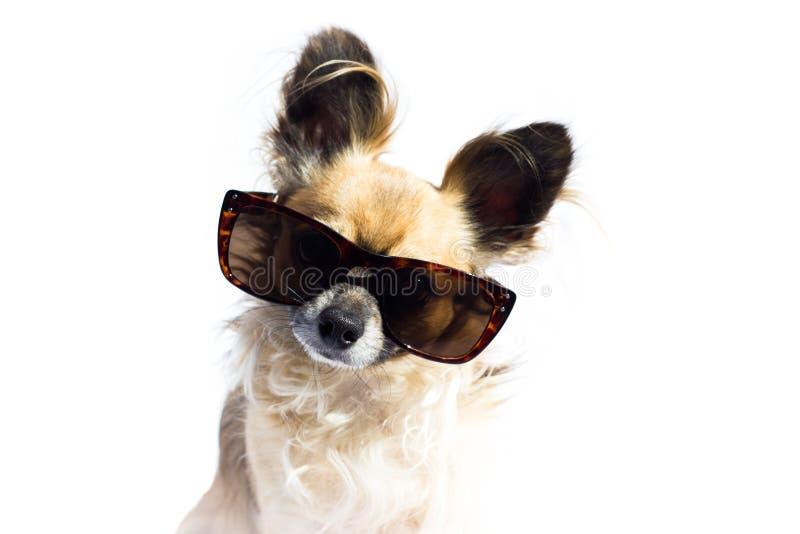 Hund mit Sonnenbrille stockfotos