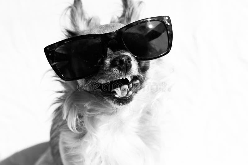 Hund mit Sonnenbrille lizenzfreie stockfotografie