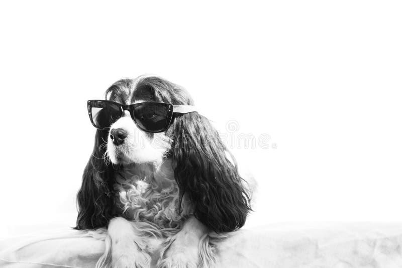 Hund mit Sonnenbrille lizenzfreie stockbilder