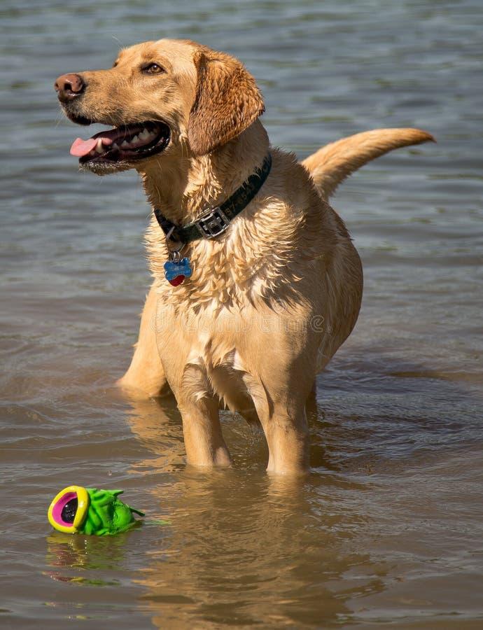 Hund mit Spielzeug lizenzfreie stockfotos