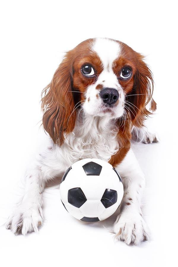 Hund mit Spielzeugball Unbekümmerter Spaniel-Hundewelpe Königs Charles mit weichem wenig Fußball des Spielzeugfußballs auf weißem stockfotos