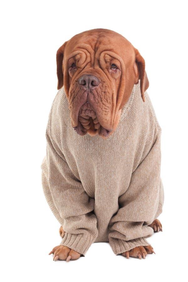 Hund mit Strickjacke lizenzfreies stockfoto