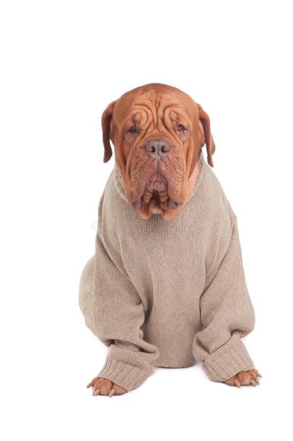 Hund mit Strickjacke stockfoto