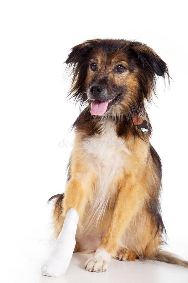 Hund mit Verband mit der Tatze stockbild