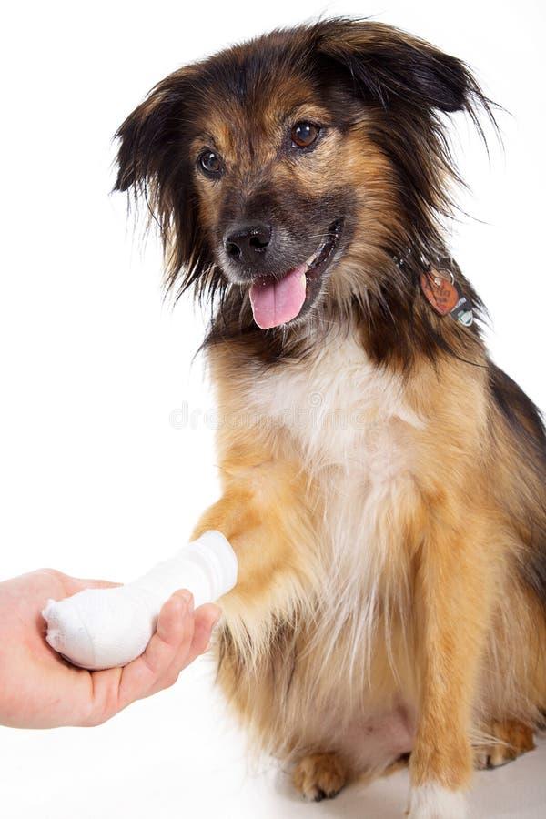 Hund mit Verband mit der Tatze lizenzfreie stockfotografie