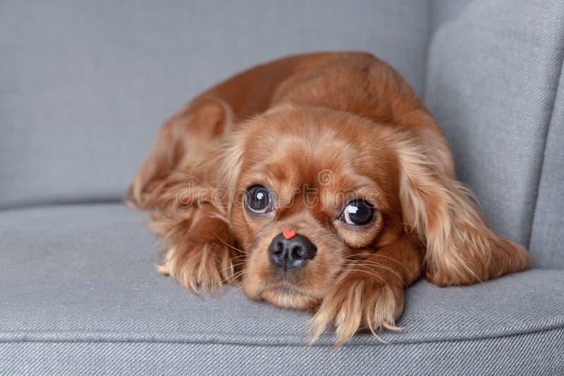 Hund mit wenig rotem Herzen auf der Nase lizenzfreie stockfotos