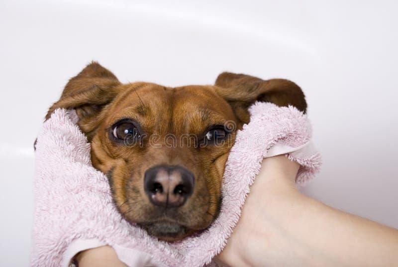 Hund nach dem Bad lizenzfreies stockfoto