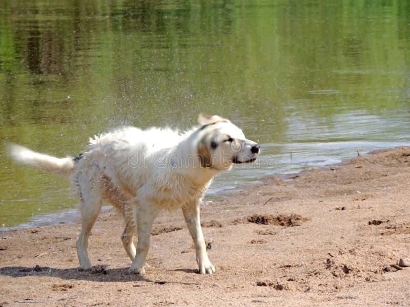 Hund nachdem dem Schwimmen stockbilder
