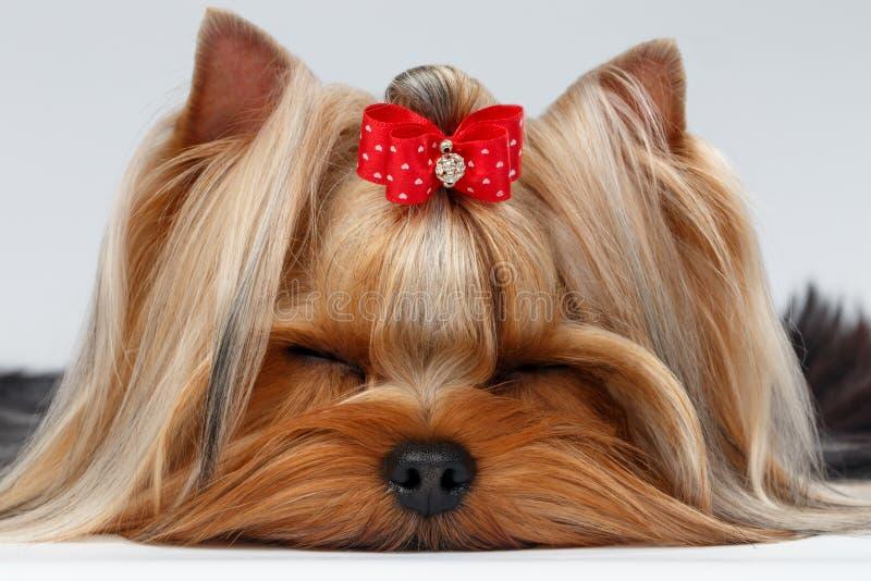 Hund Nahaufnahme-Yorkshires Terrier mit den geschlossenen Augen, die auf Weiß liegen lizenzfreie stockbilder