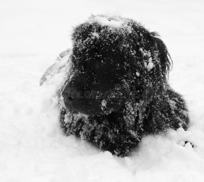 hund newfoundland royaltyfri foto