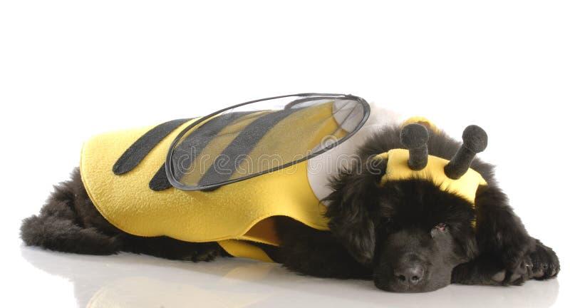 Hund oben gekleidet wie eine Biene lizenzfreies stockbild