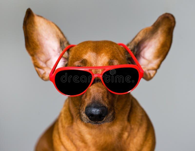 Hund och exponeringsglas royaltyfria foton