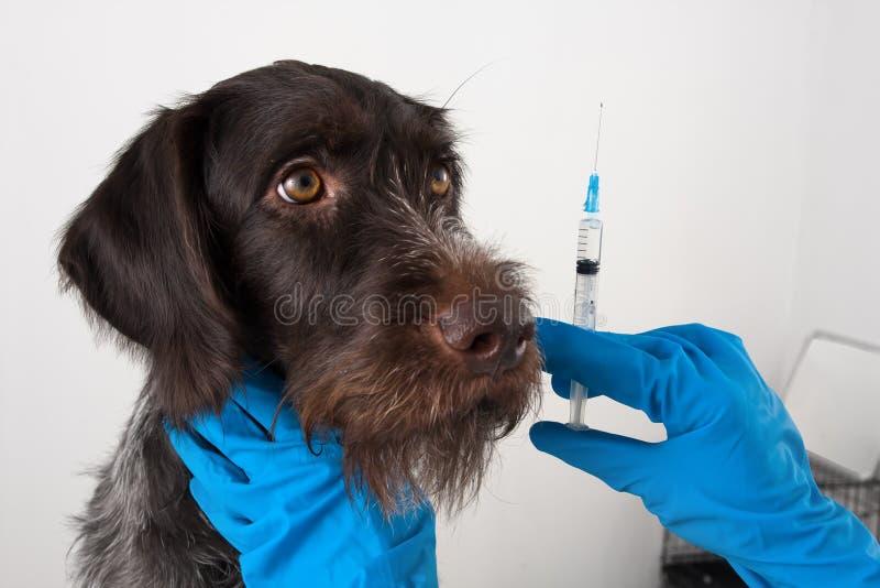 Hund och händer av veterinären som förbereder injektionssprutan för injektion arkivfoto