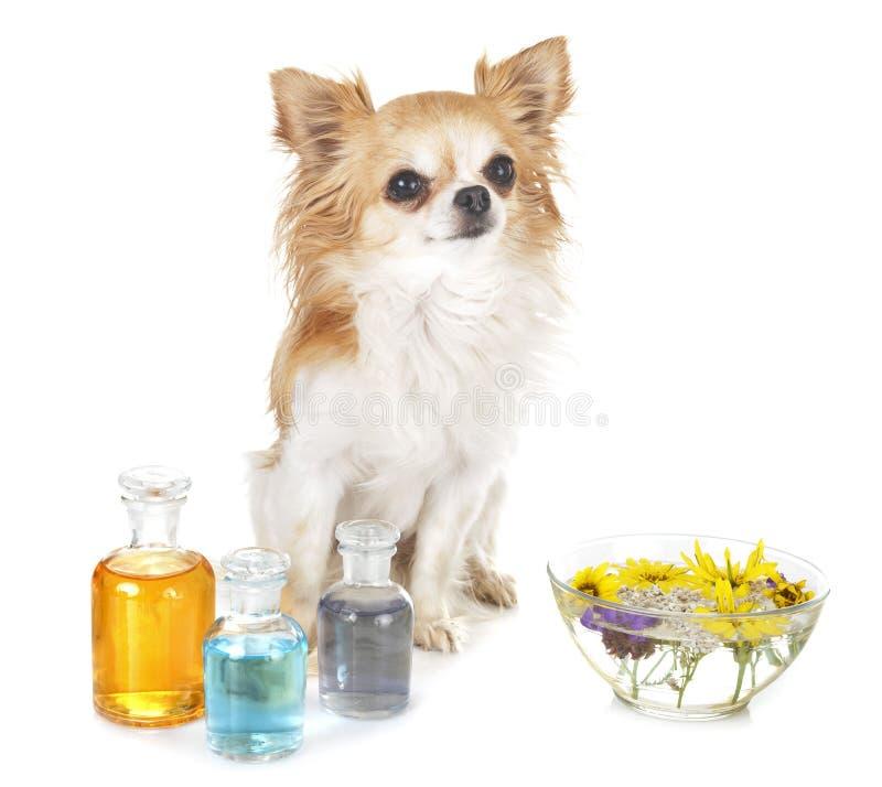 Hund och nödvändiga oljor royaltyfri fotografi