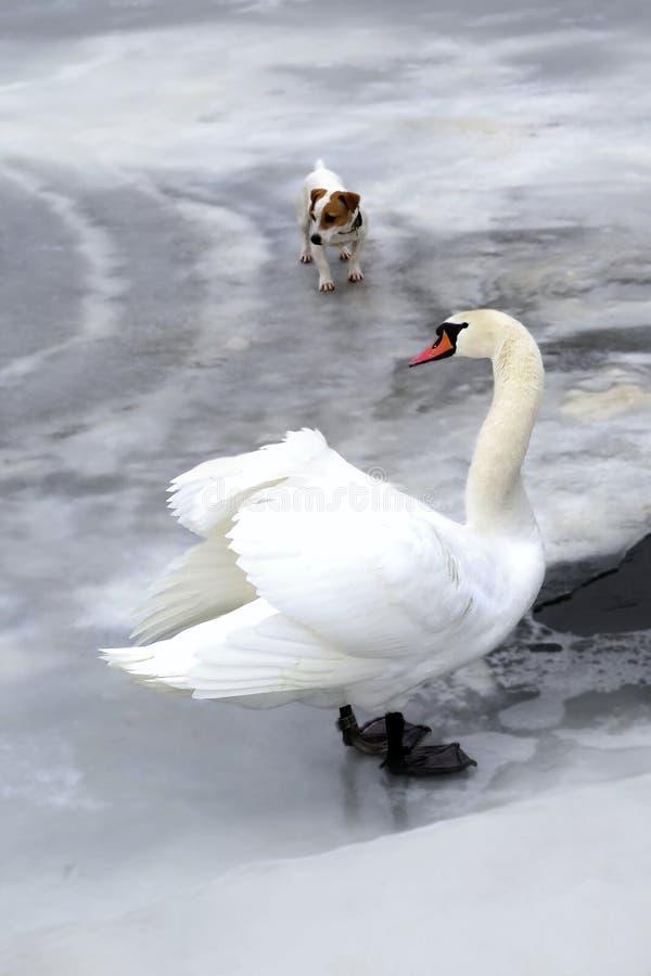 Hund och svan arkivfoto