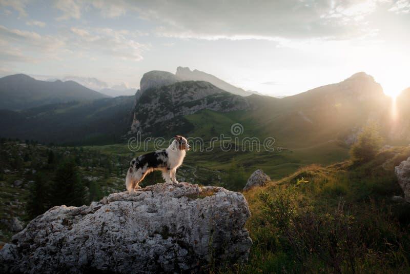 Hund på berget på solnedgången E Australisk herde i natur arkivfoto