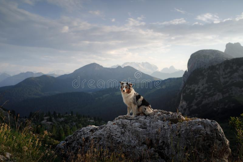 Hund på berget på solnedgången E Australisk herde i natur royaltyfria foton