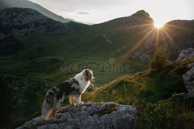 Hund på berget på solnedgången E Australisk herde i natur arkivfoton