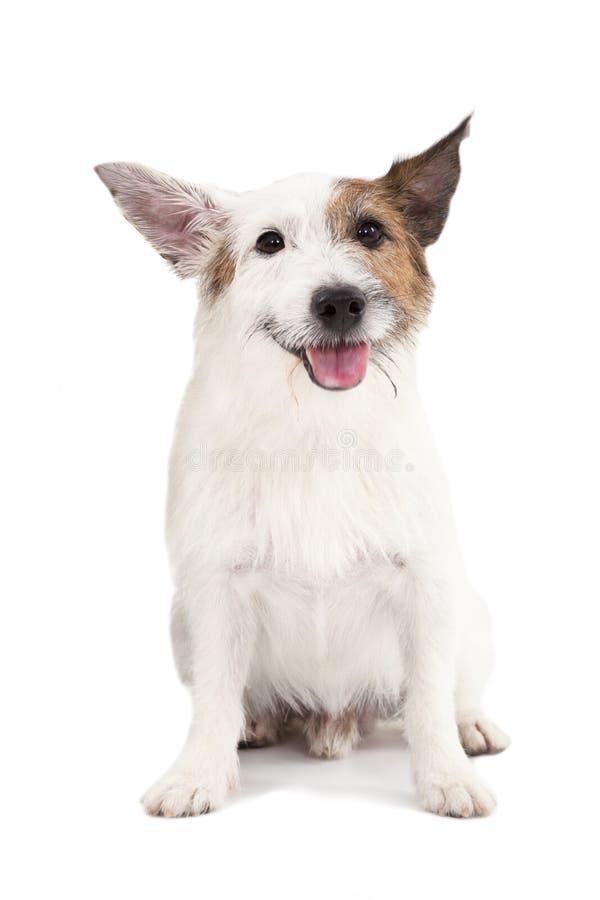 Hund på den vita bakgrunden fotografering för bildbyråer