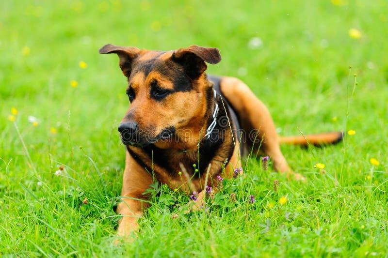 Hund på det gröna gräset royaltyfria foton