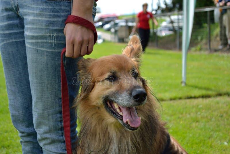 Hund på ett koppel royaltyfria bilder