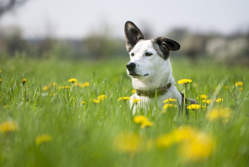 Hund på fältet av blowballs royaltyfri fotografi