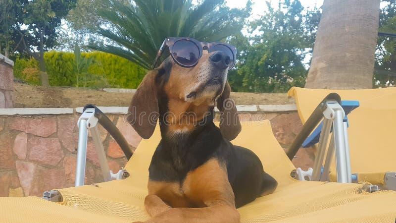 Hund på lång bärande solglasögon för en chaise Ett avslappnande ögonblick fotografering för bildbyråer