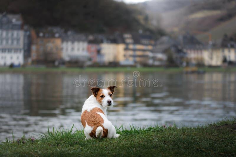 Hund på promenaden i staden Lopp med ett husdjur Jack Russell Terrier i natur arkivfoto
