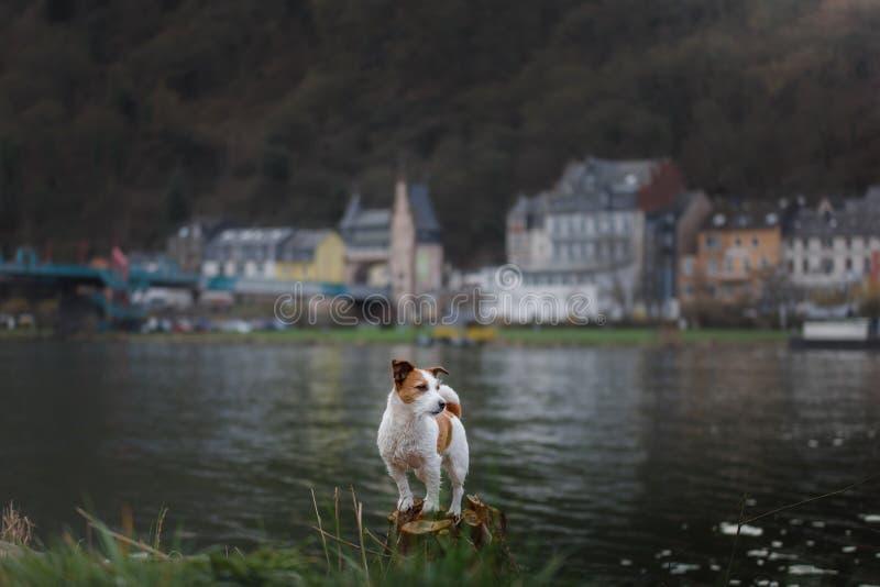 Hund på promenaden i staden Lopp med ett husdjur Jack Russell Terrier i natur fotografering för bildbyråer