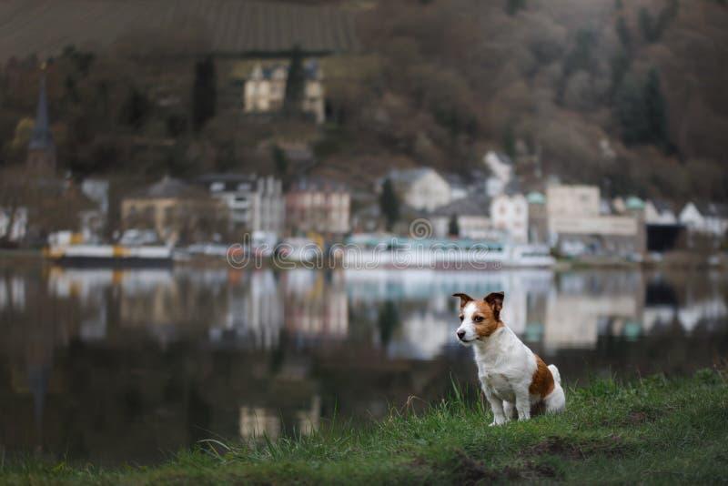 Hund på promenaden i staden Lopp med ett husdjur Jack Russell Terrier i natur royaltyfri bild
