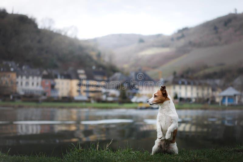 Hund på promenaden i staden Lopp med ett husdjur Jack Russell Terrier i natur arkivbild