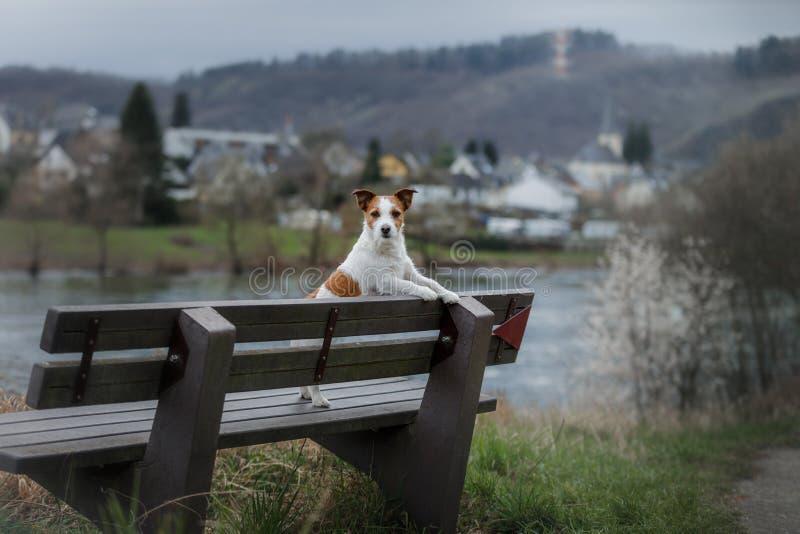 Hund på promenaden i staden Lopp med ett husdjur Jack Russell Terrier i natur royaltyfria foton