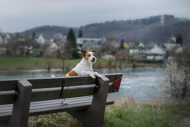 Hund på promenaden i staden Lopp med ett husdjur Jack Russell Terrier i natur royaltyfri fotografi