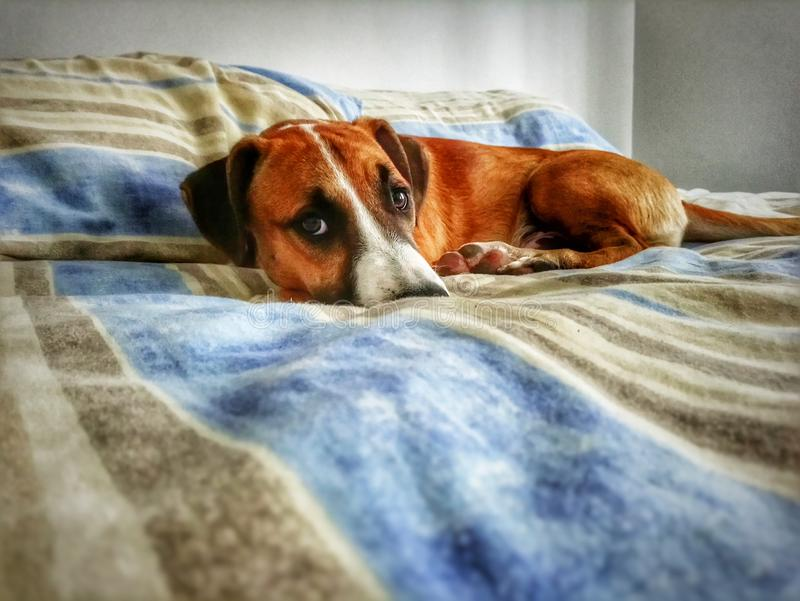 Hund på säng royaltyfria bilder