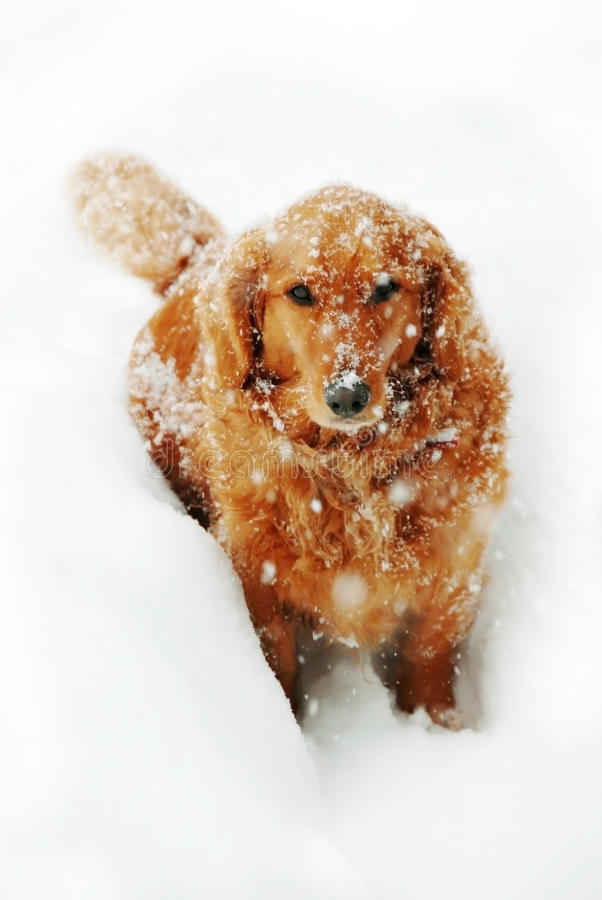 Hund på snow royaltyfri fotografi