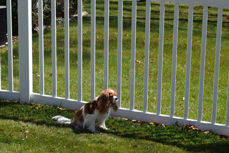 Hund am Palisadenzaun stockfoto